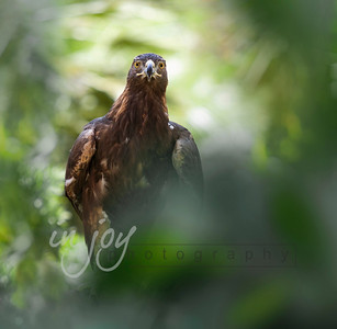 Golden Eagle_1308