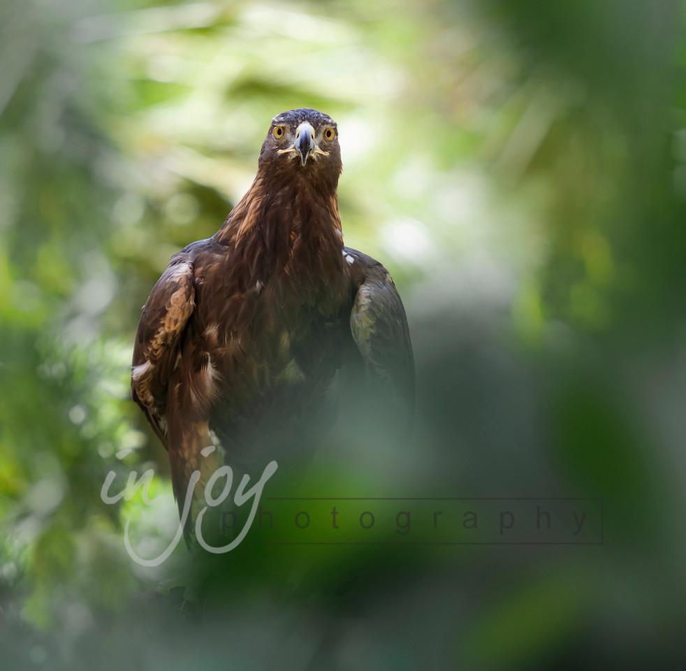 Golden Eagle_1308