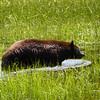 Healthy Black Bear at Meeks Bay
