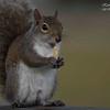Squirrel,  South Florida