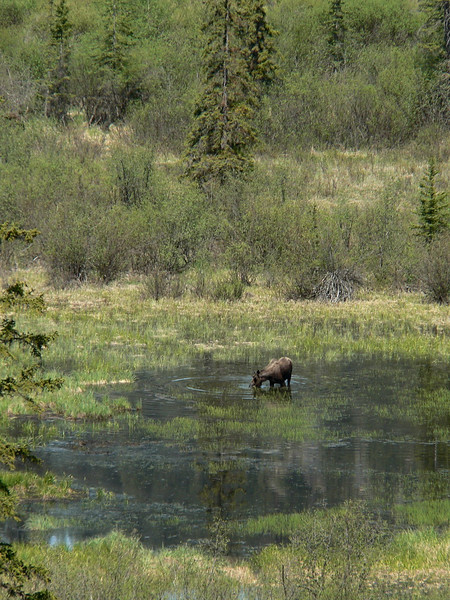Male Moose in the Jasper area.  Jasper 2007-06-01  .