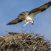 Osprey checking on dinner!