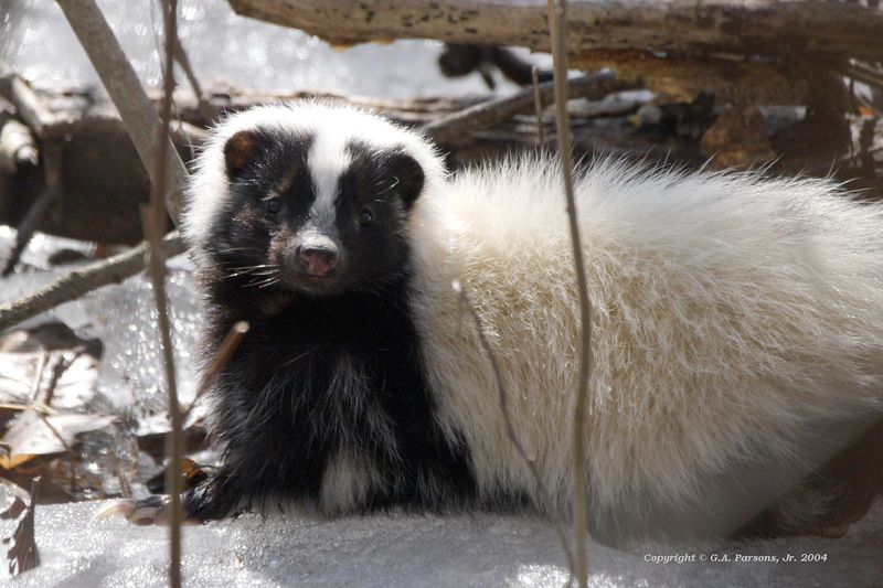 Skunk - Michigan by Paw Prints Nature & Wildlife Photography