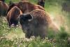 Buffalo Leaving the Wallow-6889