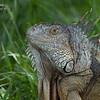 Iguana, South Florida.