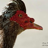 Muscovy Duck. South Florida.