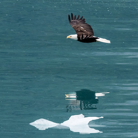 Bald eagle over ice