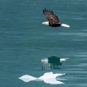 Bald eagle over ice