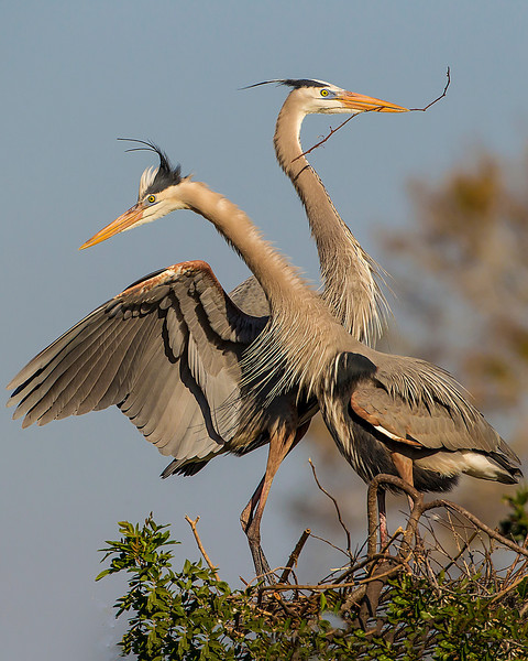 Great Blue Heron couple builds nest in the early morning sunshine, FL