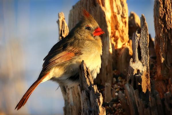 Beautiful female Cardinal