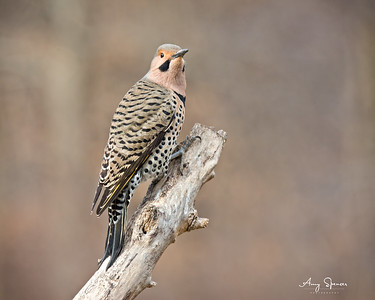 A Male Yellow-Shafted Northern Flicker