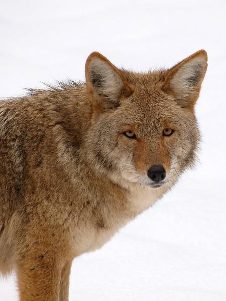 Yosemite Coyote.