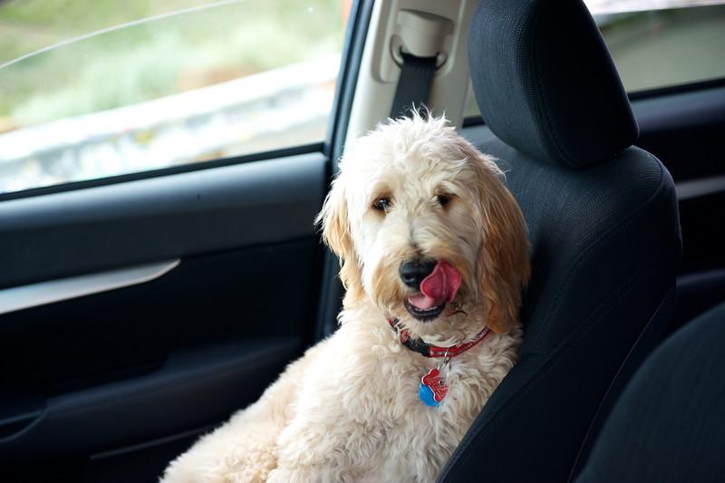 Ginger, Ron's happy Goldendoodle dog