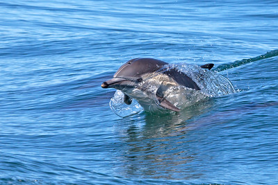 Common Dolphin just breaking the surface