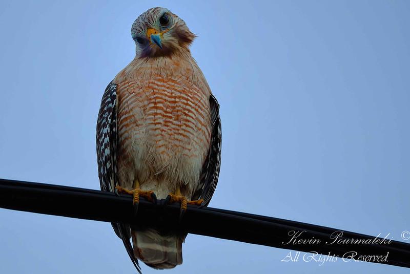 Red Shouldered Hawk.  South Florida.