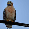 Red Shouldered Hawk.  South Florida.