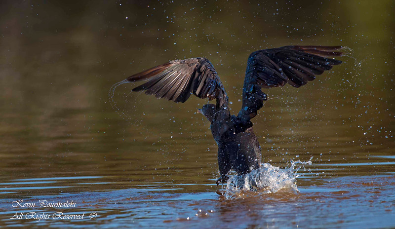 Cormorant. Everglades Park, South Florida