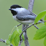 Black-Capped Chickadee 01