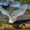 Tri Color Heron, Everglades Park.  South Florida.