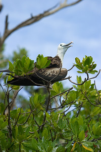 Frigate Bird on Man-o-war Caye, Stann Creek, Belize.