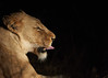 Lioness at Night