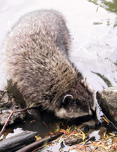2002-05-26_0833_Coon