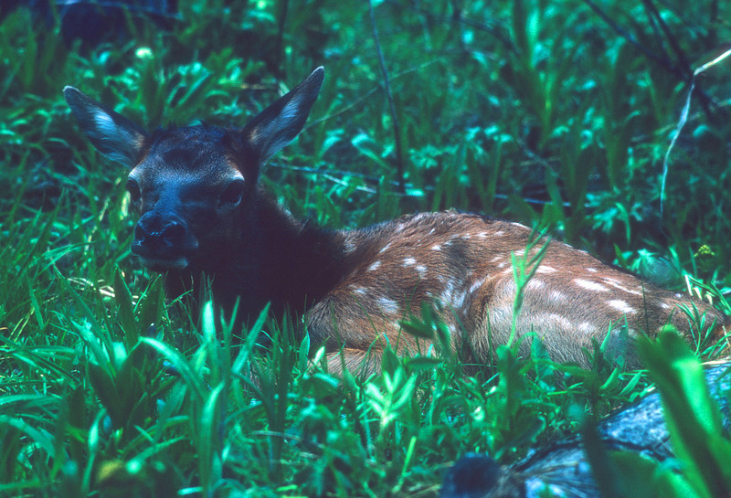 Elk calf on day bed.