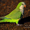 Quaker Parrot, Everglades Holiday Park, South Florida