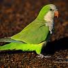 Quaker Parrot, Everglades Holiday Park, South Florida