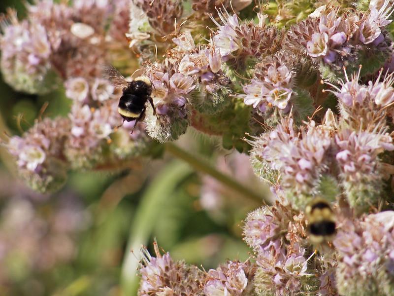 Bee looking for landing, Skyline National Trail, Tilden Park, California