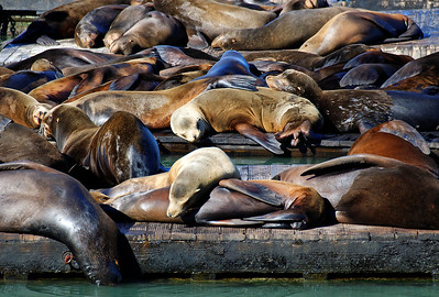 Sealion Snooze