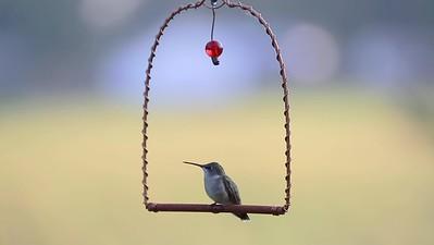 Video clip of Hummingbird on a swing