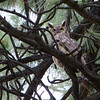 Horned Owl in Jeffrey Pine