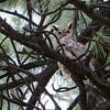 Horned Owl in Jeffrey Pine
