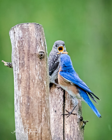 Bluebird baby with daddy