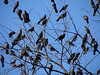 "A flock of BLACKBIRDS hangin' out in a tree. Reminds me of the movie ""The Birds"""