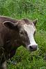 Curious cow.