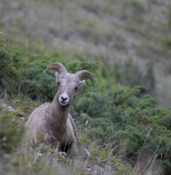 Rocky Mountain Bighorn Sheep 03