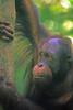 Old Dad, Senior male at the Sepilok Orangutan sanctuary, Sabah Malaysia