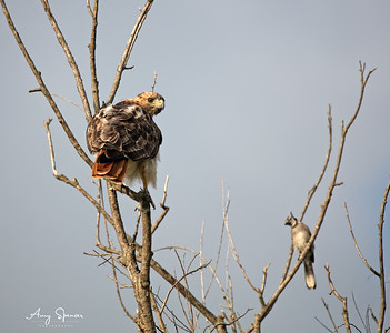 Redtailed Hawk with Blue Jay