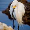 Snowy Egret Staring
