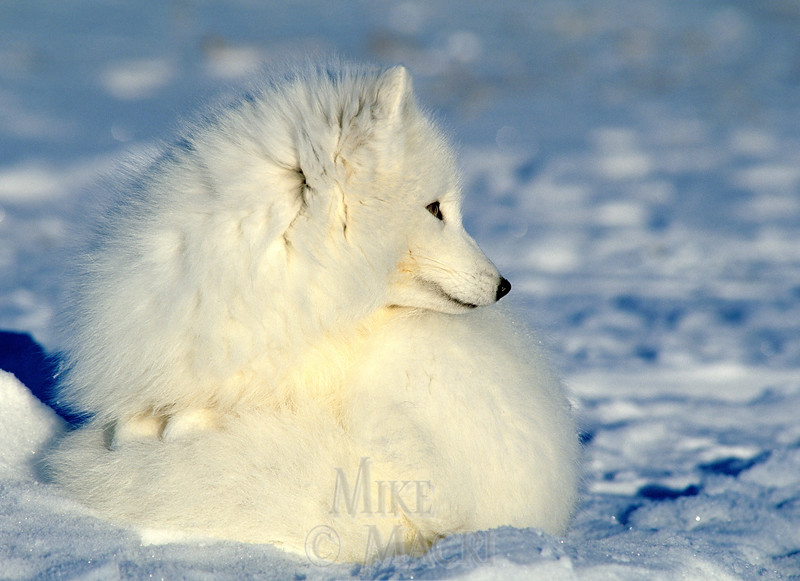 Arctic fox, full winter coat.