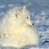 Arctic fox, full winter coat.