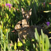 A wild Cottontail Rabbit eating the Ice Plant