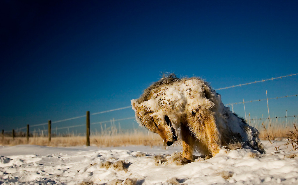 Frozen Winter Casualty.<br /> <br /> I found this frozen coyote on the side of the road in Alberta, Canada. We'd been having temperatures of well below -30C for two weeks, and I guess this poor thing fell victim to the arctic front.<br /> <br /> This is exactly how I found the coyote - sat up, and completely frozen solid.