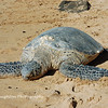 Sea Turtle, North Shore Oahu, Hawaii