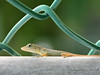 A little green gecko sitting on a metal railing that is part of a chain-link fence. This lizard was so small that it was almost translucent.
