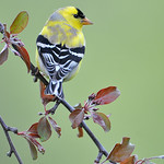 Gold Finch 04