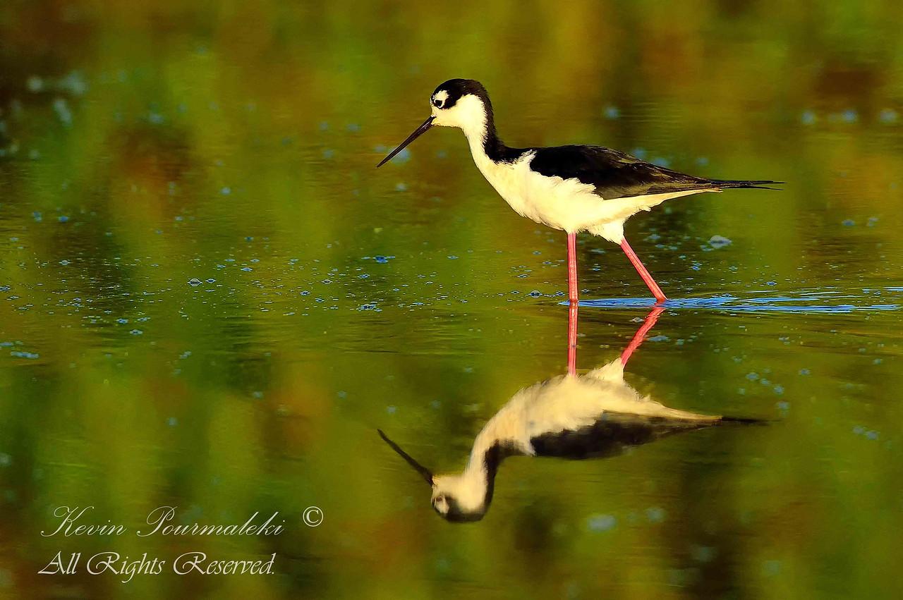 Black-Necked Stilt. Everglades National Park, South Florida.