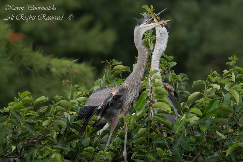 Blue Herons. South  Florida.